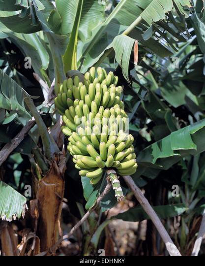 bananenplantage stock photos bananenplantage stock. Black Bedroom Furniture Sets. Home Design Ideas