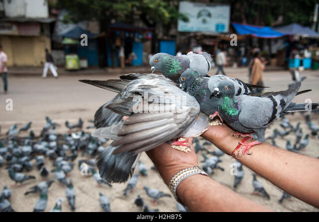 pigeon falls hindu single men Indian beliefs and superstitions are passed down from chirping or twittering of the lizard and where it falls on a person's body are said (for men) and left.