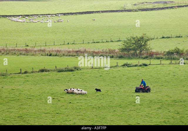 Sheep Sheep Dog Farmer Wool Stock Photos & Sheep Sheep Dog Farmer Wool ...