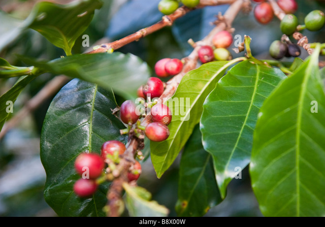 Coffee Bean Plants
