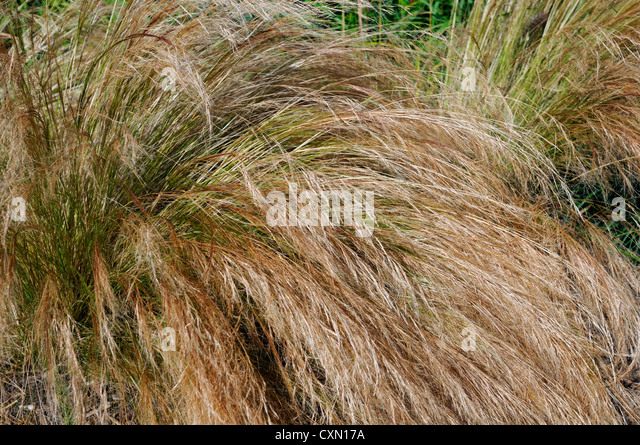 Tenuissima stock photos tenuissima stock images alamy for Brown ornamental grass plants