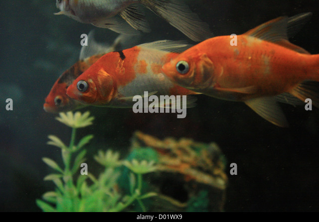 Freshwater tropical fish stock photos freshwater for Freshwater aquarium fish for sale