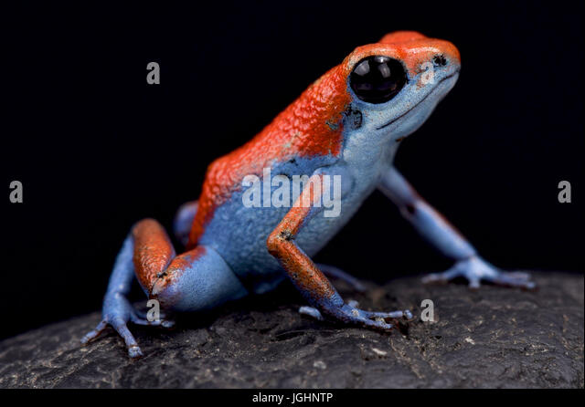 Strawberry dart frog, Oophaga pumilio 'Escudo' - Stock Image
