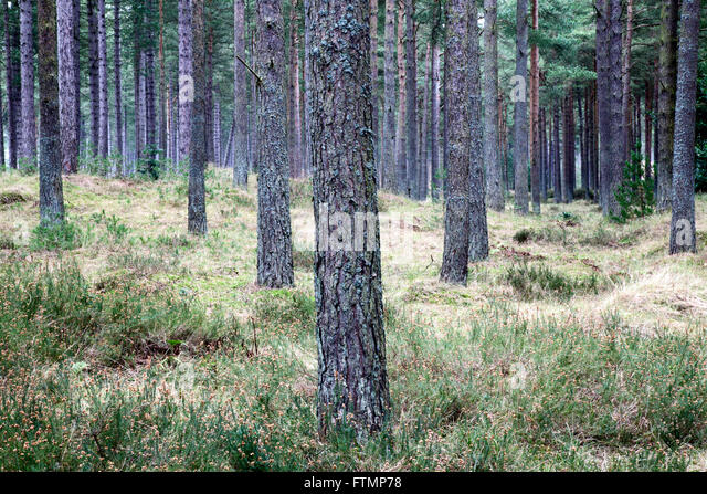 Pine Trees in Tentsmuir Forest Tayport Fife Scotland - Stock Image & Tentsmuir Forest Stock Photos u0026 Tentsmuir Forest Stock Images - Alamy