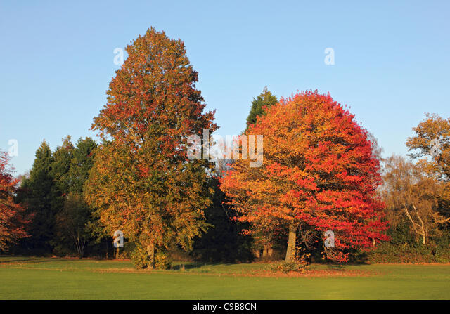Maple Tree With Autumn Leaves At Smithu0027s Lawn Near Savill Garden Windsor  England UK   Stock