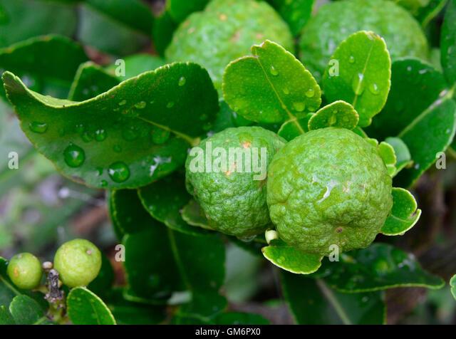 kaffir lime tree stock image - Kaffir Lime Tree