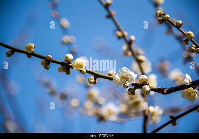 Ume Stock Photos & Ume Stock Images - Alamy