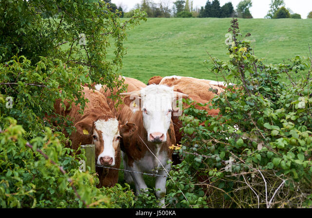 beef meat uk stock photos beef meat uk stock images alamy. Black Bedroom Furniture Sets. Home Design Ideas