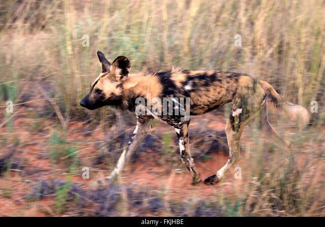African wild dog prey