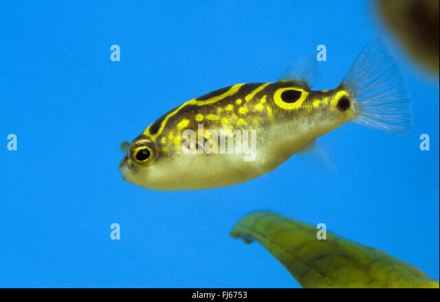 Biocellatus Stock Photos Biocellatus Stock Images Alamy