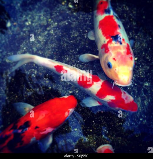 Coy fish stock photos coy fish stock images alamy for Coy carp pond