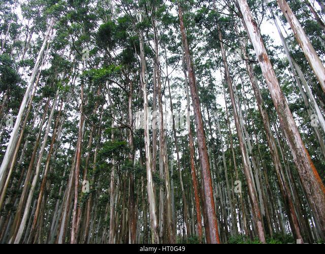 Gum Tree India Stock Photos  U0026 Gum Tree India Stock Images