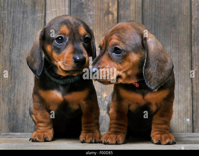 Short-haired Dachshund, Short-haired sausage dog, domestic dog (Canis ...