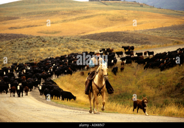 Image result for cattle drives