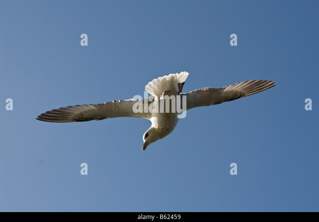 Fair Isle Scotland Fulmar Stock Photos & Fair Isle Scotland Fulmar ...