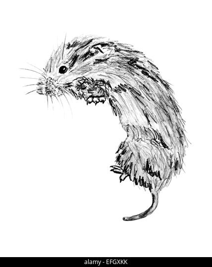 Meadow Vole Drawing