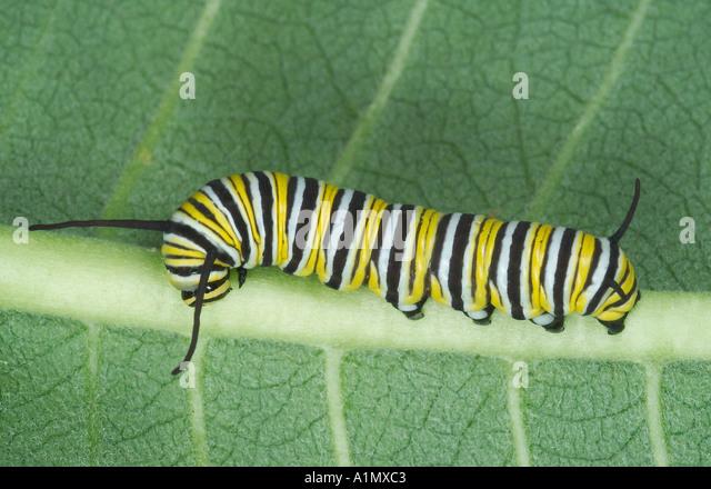 Tolle Monarch Raupe Färbung Seite Zeitgenössisch ...