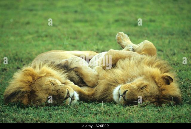 lion feet stockfotos lion feet bilder alamy. Black Bedroom Furniture Sets. Home Design Ideas