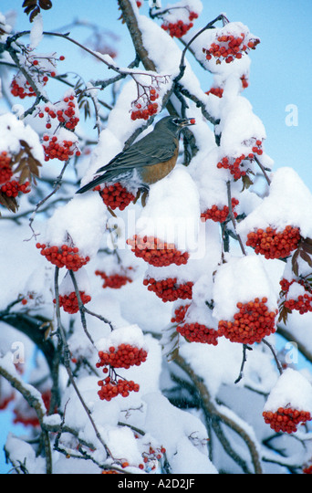 robin snow berry stockfotos robin snow berry bilder alamy. Black Bedroom Furniture Sets. Home Design Ideas