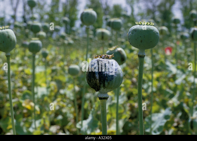 opium farmer stockfotos opium farmer bilder alamy. Black Bedroom Furniture Sets. Home Design Ideas