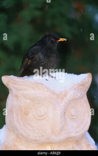blackbird winter turdus merula stockfotos blackbird winter turdus merula bilder alamy. Black Bedroom Furniture Sets. Home Design Ideas