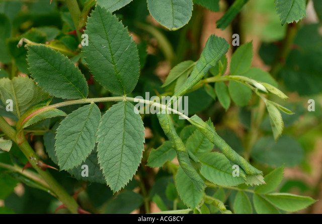 insect damage leaves stockfotos insect damage leaves bilder seite 3 alamy. Black Bedroom Furniture Sets. Home Design Ideas