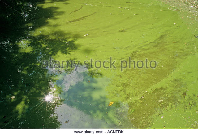 algal bloom stockfotos algal bloom bilder alamy. Black Bedroom Furniture Sets. Home Design Ideas