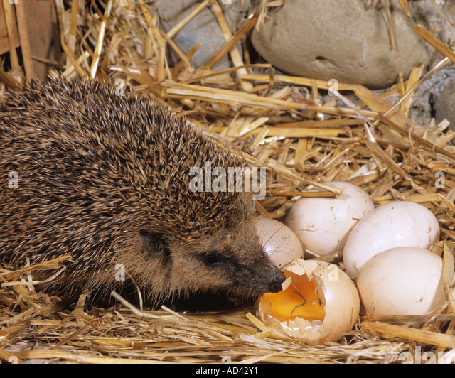 hedgehog munching egg erinaceidae stockfotos hedgehog munching egg erinaceidae bilder alamy. Black Bedroom Furniture Sets. Home Design Ideas
