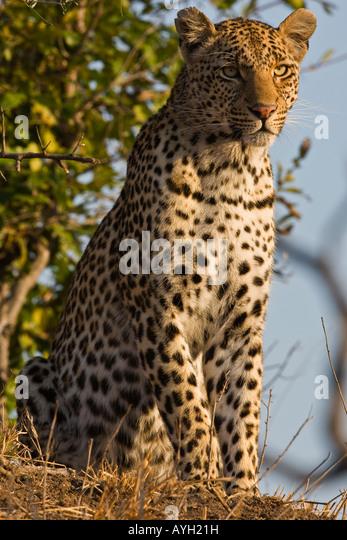 Leopard Sitting Stockfotos  Leopard Sitting Bilder  Alamy