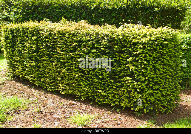 yew taxus hedge stockfotos yew taxus hedge bilder alamy. Black Bedroom Furniture Sets. Home Design Ideas