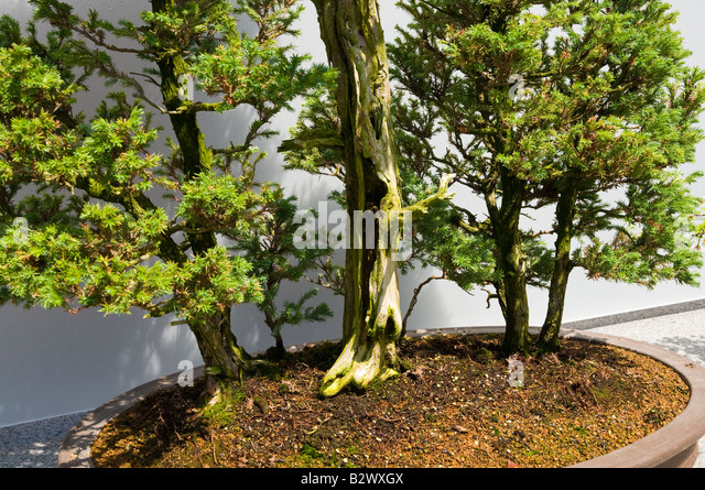 cypress bonsai tree stockfotos cypress bonsai tree bilder alamy. Black Bedroom Furniture Sets. Home Design Ideas