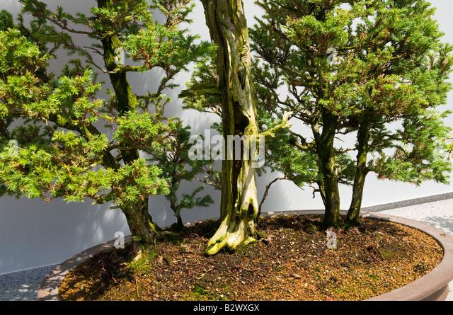 cypress bonsai tree stockfotos cypress bonsai tree bilder alamy. Black Bedroom Furniture Sets. Home Design Ideas
