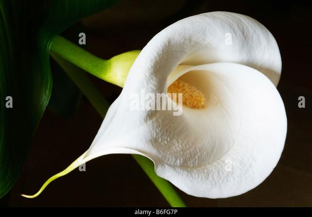 white calla lily stockfotos white calla lily bilder alamy. Black Bedroom Furniture Sets. Home Design Ideas