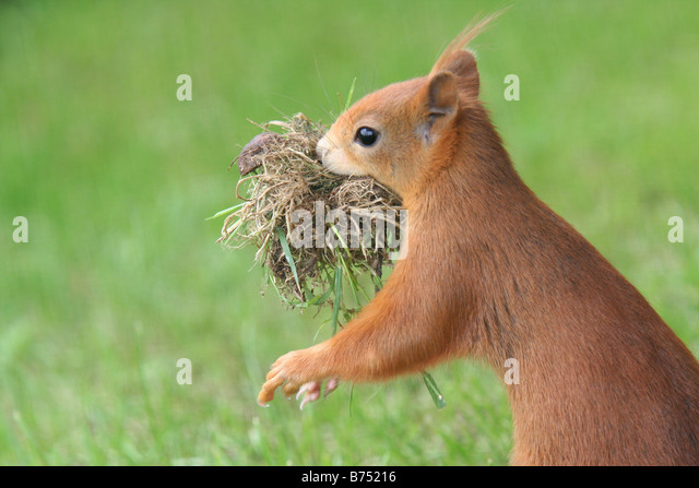 drey squirrel stockfotos drey squirrel bilder alamy. Black Bedroom Furniture Sets. Home Design Ideas