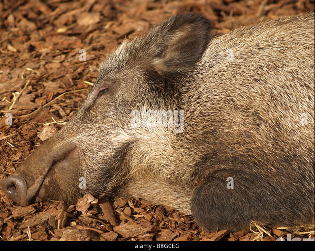 wild boar pig sus lying stockfotos wild boar pig sus lying bilder seite 3 alamy. Black Bedroom Furniture Sets. Home Design Ideas