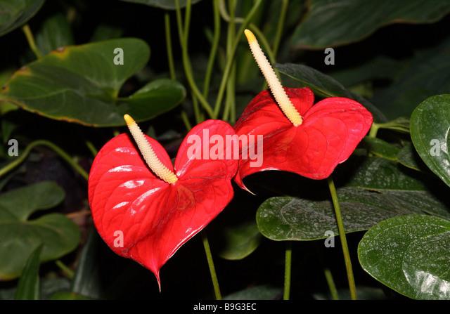 anthurium leaves stockfotos anthurium leaves bilder alamy. Black Bedroom Furniture Sets. Home Design Ideas
