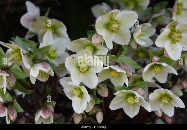 helleborus stockfotos helleborus bilder alamy. Black Bedroom Furniture Sets. Home Design Ideas