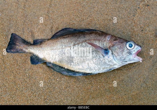 Dead fish stockfotos dead fish bilder alamy for Sharks fish chicken birmingham al