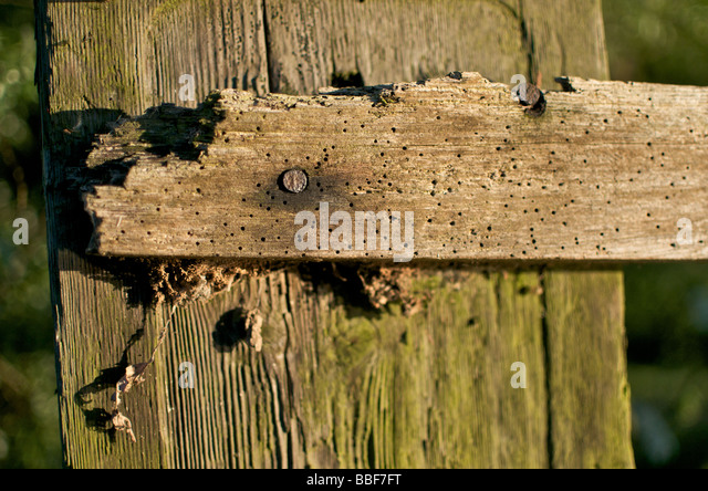 woodworm stockfotos woodworm bilder alamy. Black Bedroom Furniture Sets. Home Design Ideas