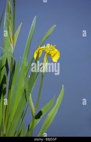 iridaceae stockfotos iridaceae bilder alamy. Black Bedroom Furniture Sets. Home Design Ideas