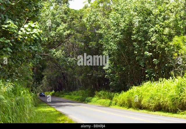 Mahagonibäume  Tree Tunnel Swamp Mahogany Trees Stockfotos & Tree Tunnel Swamp ...