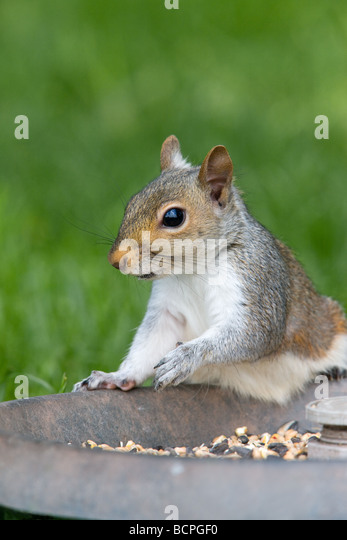 bird feeder rat stockfotos bird feeder rat bilder alamy. Black Bedroom Furniture Sets. Home Design Ideas