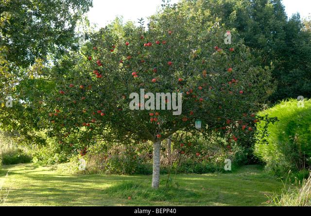 apple tree stockfotos apple tree bilder alamy. Black Bedroom Furniture Sets. Home Design Ideas