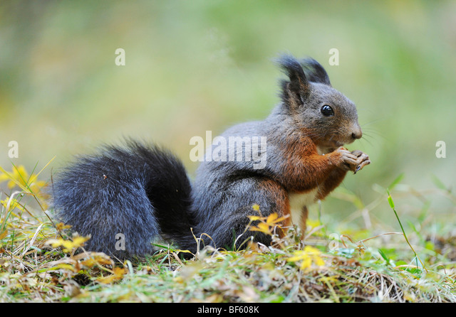 rodents stockfotos rodents bilder alamy. Black Bedroom Furniture Sets. Home Design Ideas