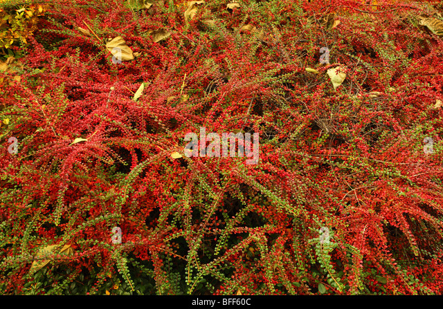 cotoneaster horizontalis stockfotos cotoneaster horizontalis bilder alamy. Black Bedroom Furniture Sets. Home Design Ideas