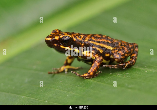 amphibians stockfotos amphibians bilder alamy. Black Bedroom Furniture Sets. Home Design Ideas
