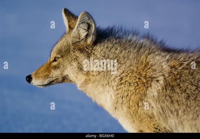 coyote stockfotos coyote bilder alamy. Black Bedroom Furniture Sets. Home Design Ideas