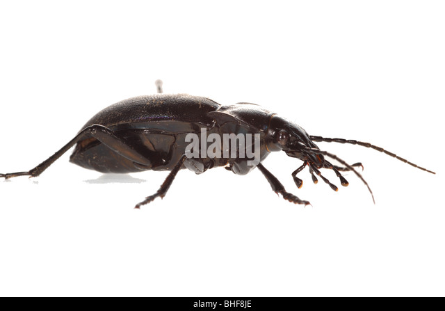 beetle stockfotos beetle bilder alamy. Black Bedroom Furniture Sets. Home Design Ideas