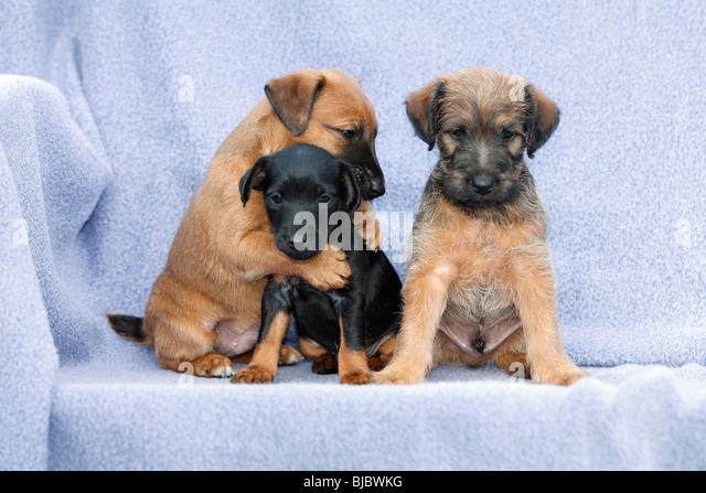 puppies stockfotos puppies bilder alamy. Black Bedroom Furniture Sets. Home Design Ideas