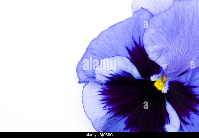 dark blue pansy stockfotos dark blue pansy bilder alamy. Black Bedroom Furniture Sets. Home Design Ideas